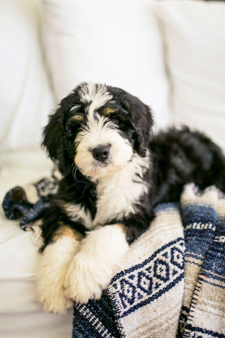 Bernedoodle Puppies — Highfalutin Furry Babies