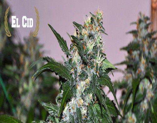 El Cid Regular Cannabis Seeds