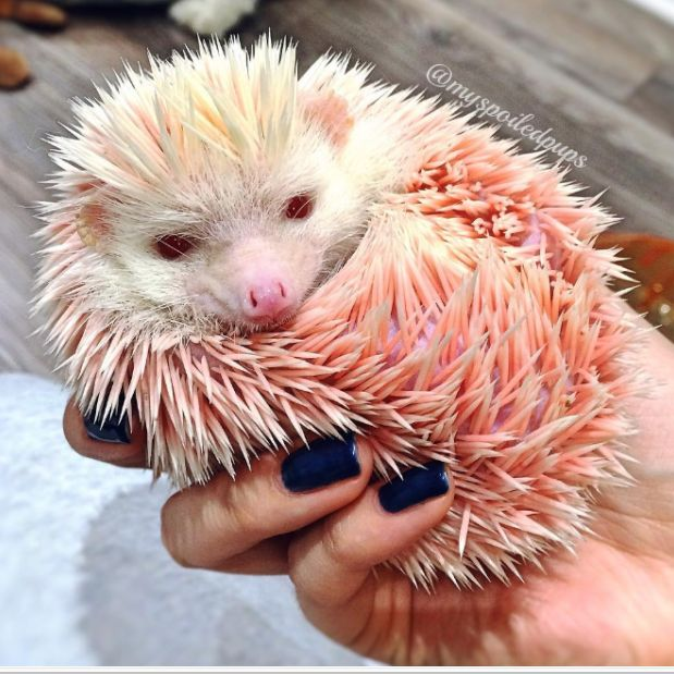 Pink Floyd – the adorable albino hedgehog who was rescued after being dyed bright pink for fun. | Hedgehog Stories That Will Take You On An Emotional Rollercoaster