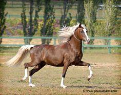 KAM3865A - Peruvian Paso Stallion