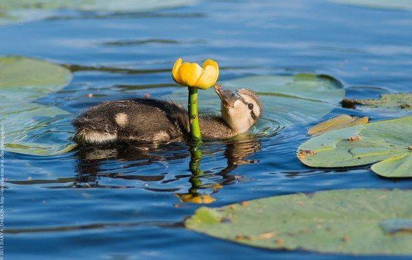 duck, flower
