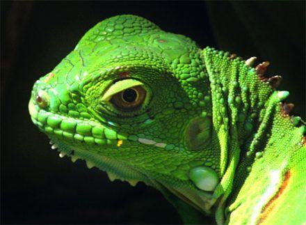 Green Iguana Pet Care Sheet and Guide ; Re pin if you got value http://www.petnatics.com/green-iguana-care/