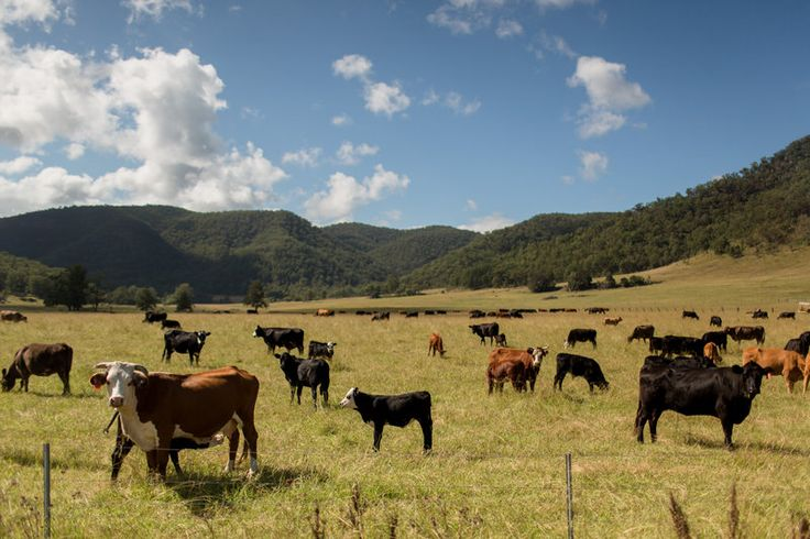 Cattle grazing in the Hunter Valley // Hilary Cam Photography
