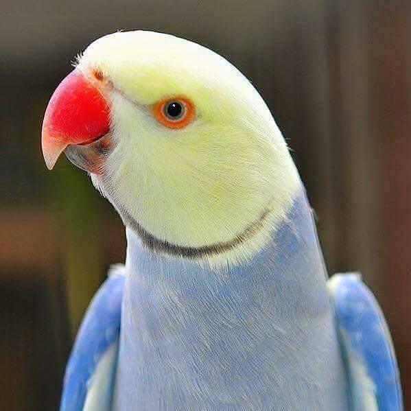 Parrocchetto dal collare - Rose-ringed Parakeet - Psittacula krameri