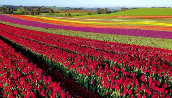 Go to a tulip festival.