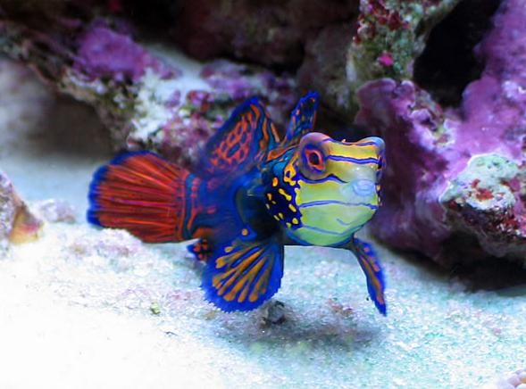 goby fish saltwater | Saltwater aquarium fish photos - Marine tropicals - Pinellas Aquariums