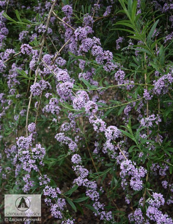 Buddleja alternifolia - Budleja skrętolistna