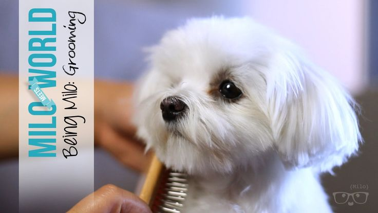 No More Tear Stains: Grooming Milo (Maltese) Meets World