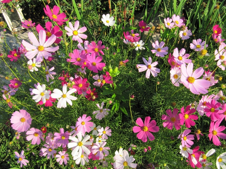 Cosmos Bipinnatus - Candy Land by Live Mulch #cosmos #pink cosmos