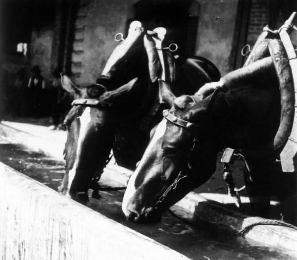 Cavalli da tiro all'abbeveratoio