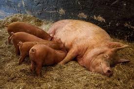 Risultati immagini per il maiale
