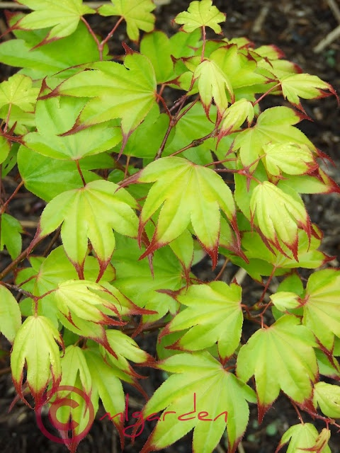 Acer palmatum Tsuma Gaki Japanese Maple (I had this once in a pot, but the heat killed it.)