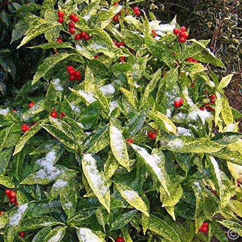 Aucuba japonica - Aucuba japonica - Piante da Giardino - Aucuba japonica - Arbusti