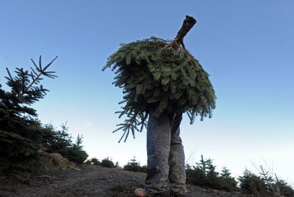 Catégorie Nature et Environnement, 2ème prix, Denis Minihane (Irish Examiner).    L'homme sapin.    Portant un sapin de Nordmann pendant la saison de la coupe des arbres de Noël dans une sapinière tenue par l'Office Coillte dans le Comté de Tipperary.