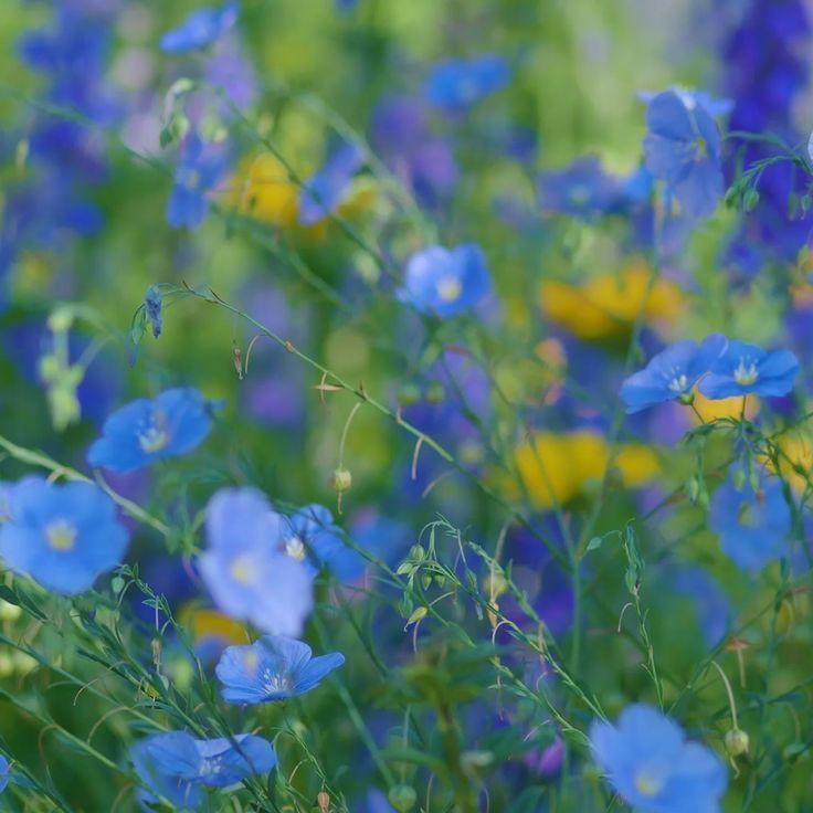 Cosmos Bloem Astronomy In 2020 Flower Garden Design Perennial Garden Design Perennial Garden