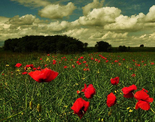 Czerwień, zieleń i błękit - idealne połączenie. #Podkarpacie #łąka #widoki #lato / #Poland #nature #flower
