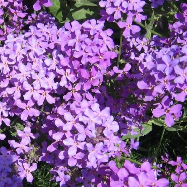 Natviol er en høj og prægtig plante med massevis af lilla blomster. Blomsternes fine aften-violduft er særlig kraftig efter regn. De kønne blomster er også spiselige: smukke i en salat, som kagepynt og i buketter.  Natviol kan blive over halvanden meter høj. Da den er toårig, betyder det at der kommer en tæt lille bladplante det første år, andet år kommer blomsterne. Blomstringen begynder i maj og varer 3-4 uger.  Kan sås hele året - også i den kolde periode, så vil de spire om foråret.