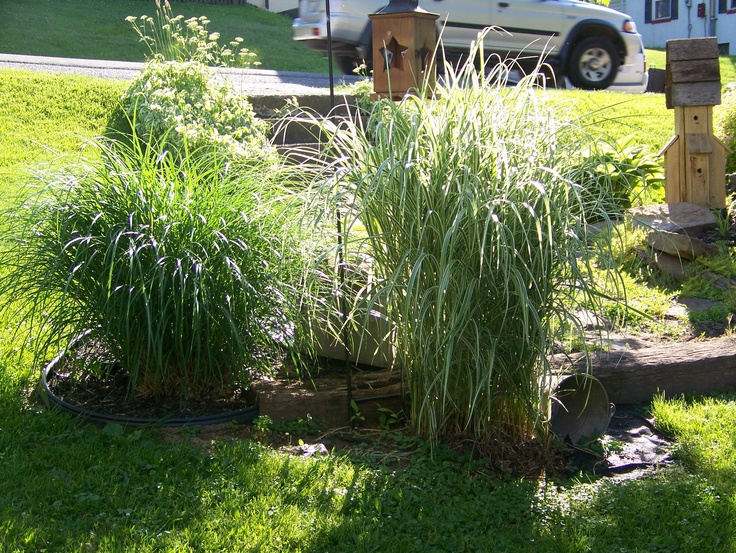 Ornamental grasses ground cover outdoor plants pinterest for Outdoor tall grass plants