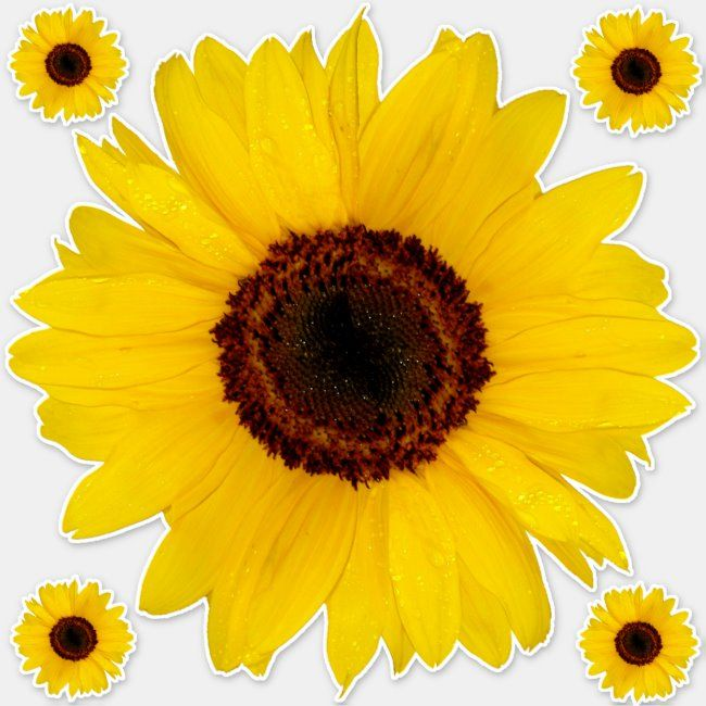 Sunflower Contour Sticker Bonus Zazzle Com In 2020 Sunflowers Background Design Your Own Stickers Sunflower