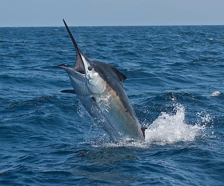 184 best Bill fish images on Pinterest