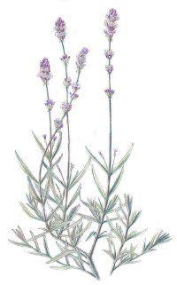 Lavender: Herbal Remedies