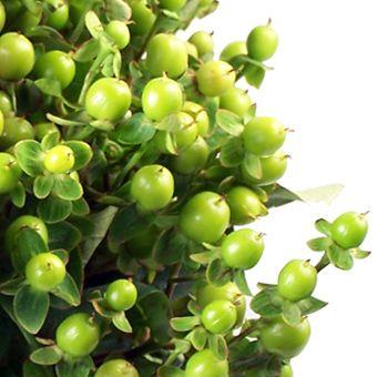 Green Hypericum Berry Flower | Fresh Bulk Hypericum Berries At Wholesale