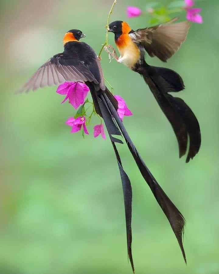 Oiseau De Paradis Animal : oiseau, paradis, animal, Oiseaux, Paradis, Oiseau, Paradis,, Oiseaux,, Carte, Postale