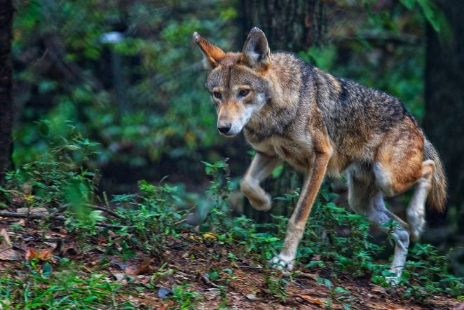 Just this year, poachers have killed about 10% of the remaining red wolf population in the U.S.