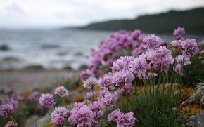 Обои фиолетовые цветы, фиолетовые цветы, берег, пляж, вода, пасмурно, Цветы, фиолетовые цветы