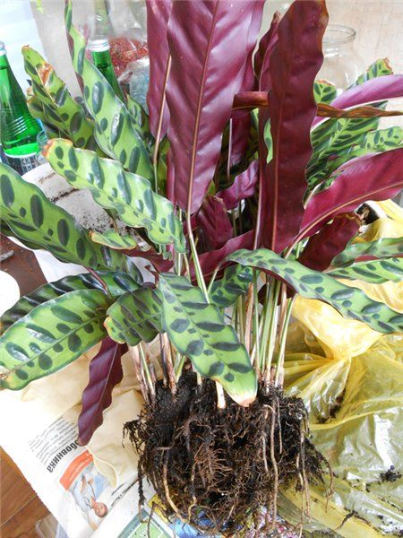 Тропическая красавица строманта: Правила ухода в домашних условиях 40+ фото http://happymodern.ru/stromanta-foto/ Размножение способом деления Смотри больше http://happymodern.ru/stromanta-foto/