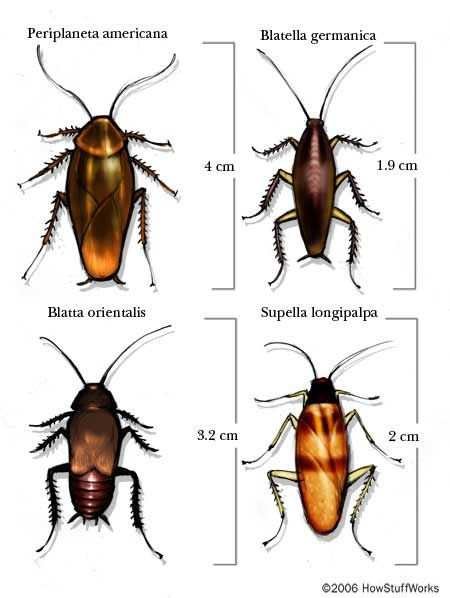 Cockroaches are creepy, but they're also very complex creatures. Learn about the anatomy of cockroaches and how to get rid of them.