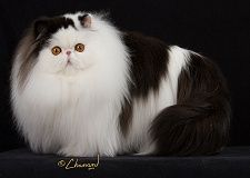 What is the best persian cat