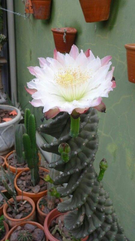 Flor de cacto  DR