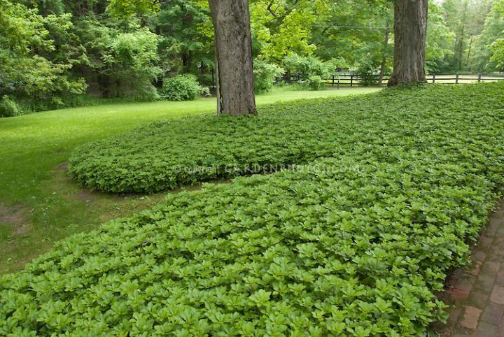Terminalis Green Carpet Pachysandra