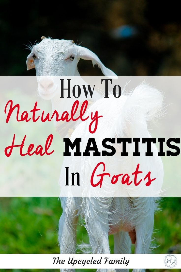 The Simple & Natural Treatment for Mastitis in your Goats