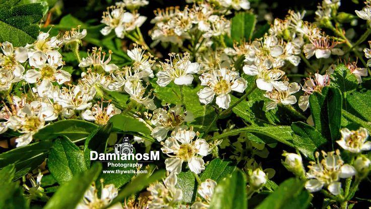 Tejocote Blossoms Crataegus Mexicana
