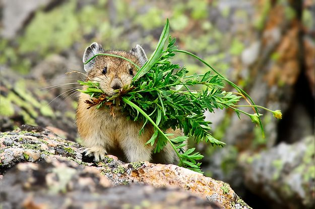 Cheer up! Pikas will bring you flowers.