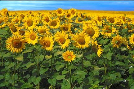 France    Field of Sunflowers