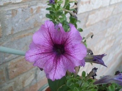 Petunia Not Blooming: How To Fix Petunia Plant With No Flowers - What do you do if you have non blooming petunias? Learning how to make petunia bloom is fairly simple. Read this article to find out what may have caused the petunia plant with no flowers.