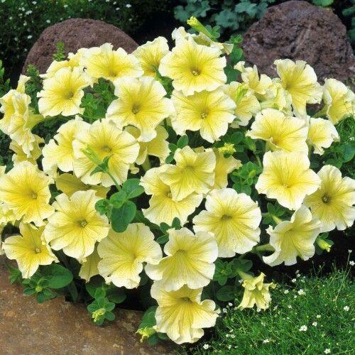 Petunia grandiflora 'Limoncello'