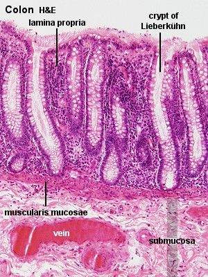 Colon histology
