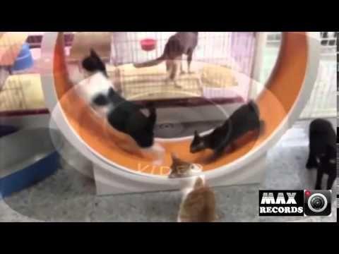 Diversion para los gatos | Inventos | Rueda giratoria | Mascotas | Animales - http://dailyfunnypets.com/videos/cats/diversion-para-los-gatos-inventos-rueda-giratoria-mascotas-animales/ - mascotas gatos y perros mascotas gatos persas mascotas gatos cuidados mascotas gatos razas mascotas gatos en adopcion mascotas gatos mascotas gatos bogota mascotas gatos chile mascotas ... - (animal), (film), (website, animals, cat, category), cats, character), congo, crossing, cute, dave, do
