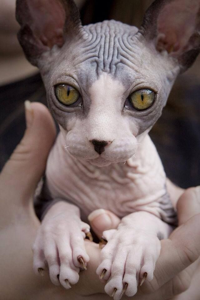 I need a little baby sphynxin my life, Dracula & Indy wouldn't be too happy though :(