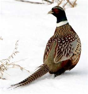 A Beautiful Ring Neck Pheasant hit the side of our house today and broke his neck. 1 Jan 13 SB