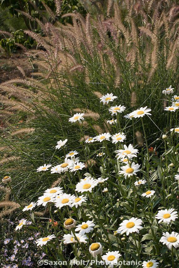 Shasta daisy (Leucanthemum x superbum) perennial in Pennsylvania meadow garden with pennisetum grass, North Creek Nursery