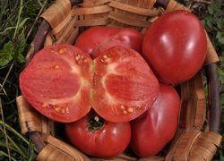 Anna Russian- Belle variété de cœur de boeuf aux fruits de couleur rose pâle, pesant jusqu'à 500 grammes. Le coeur dense est de bonne saveur. Le feuillage peu dense est quelque peu retombant. Bonne productivité. Croissance continue. 75 jours.