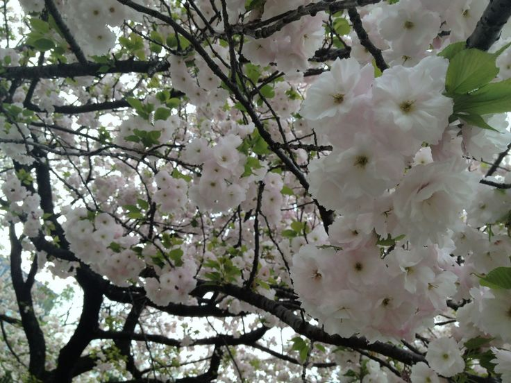 here, i could enjoy full blossomed sakura. :) @ the palace