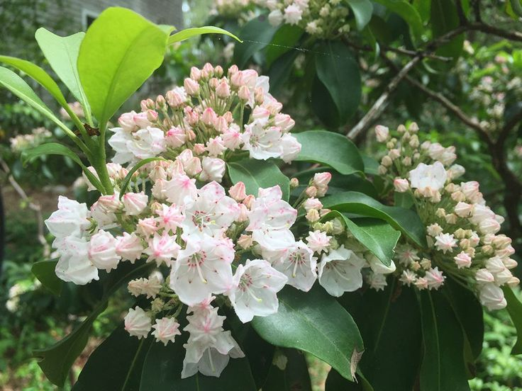 I love the internal structure of the Kalmia latifolia aka Mountain Laurel that is native in my garden. The stamens push open each blossom and when ready, with a slight breeze they flip their pollen in order to live on and on.