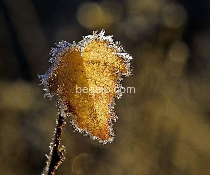 Frostnupet blad -  http://begejo.com/bilder-naturen/