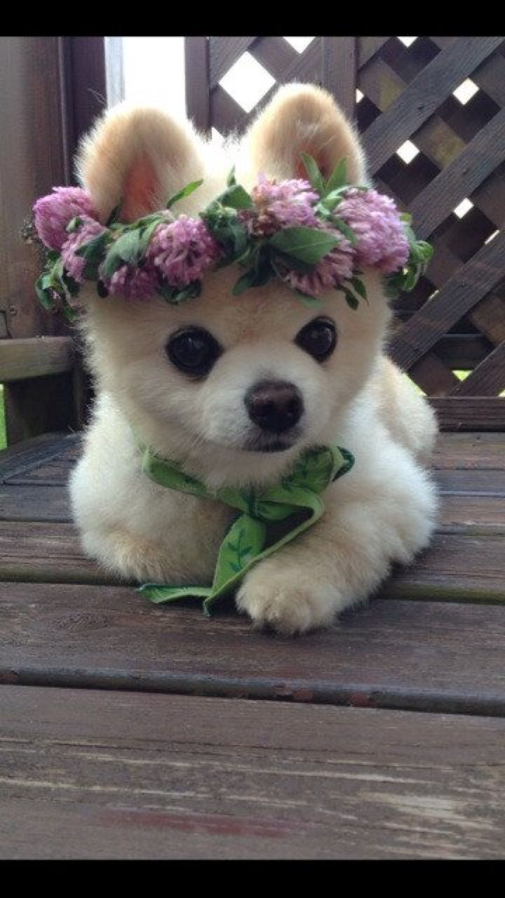 Cute Puppies 17 Pics: 203 Best Images About POMERANIANS On Pinterest